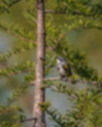 yellow-rumped-warbler-male.jpg