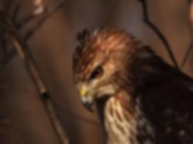 Stalking-hawk.jpg