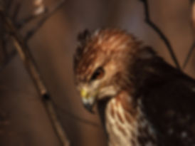 Red-tailed Hawk staking prey