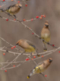 Cedar Waxwings gorging on holly berries