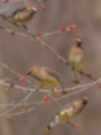 Cedar Waxwings gorging on holly berries