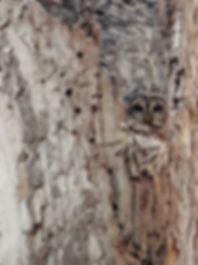 barred-owl-blending-in.jpg