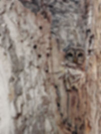 Barred Owl blends in to tree with camoflauge