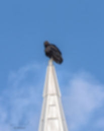 Black vulture sits ominously atop a church steeple. omen
