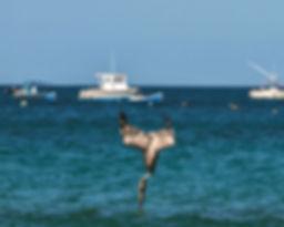 pelican-fishing.jpg