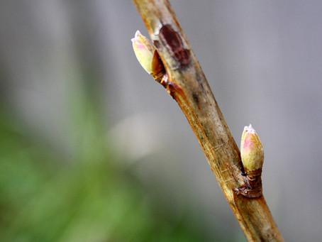 La Gemmothérapie ou les macérats de bourgeons