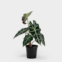Nursery-Pot-4_Alocasia-Polly-4.jpg