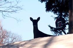 Deer in Windermere in snow