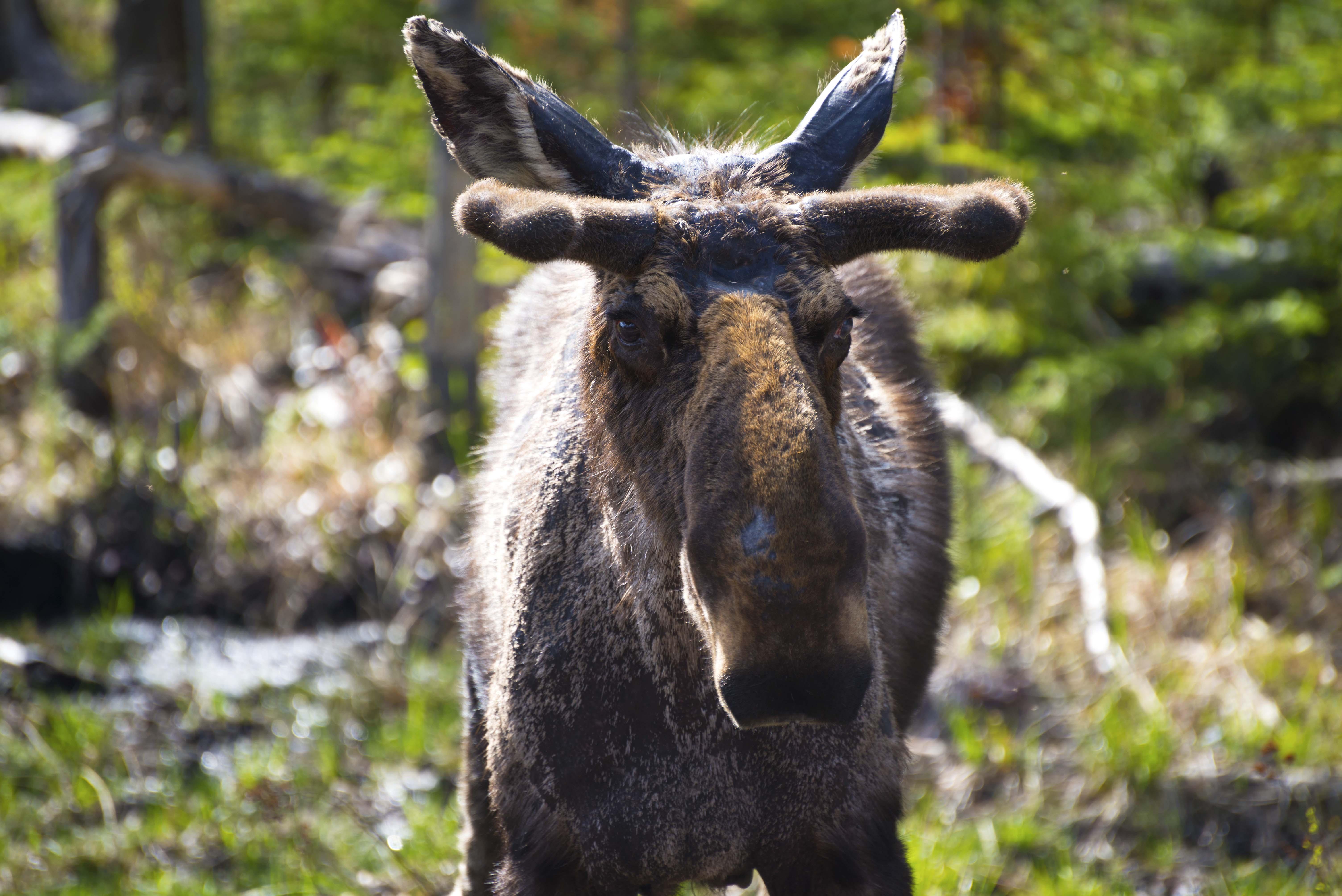 Moose Canada