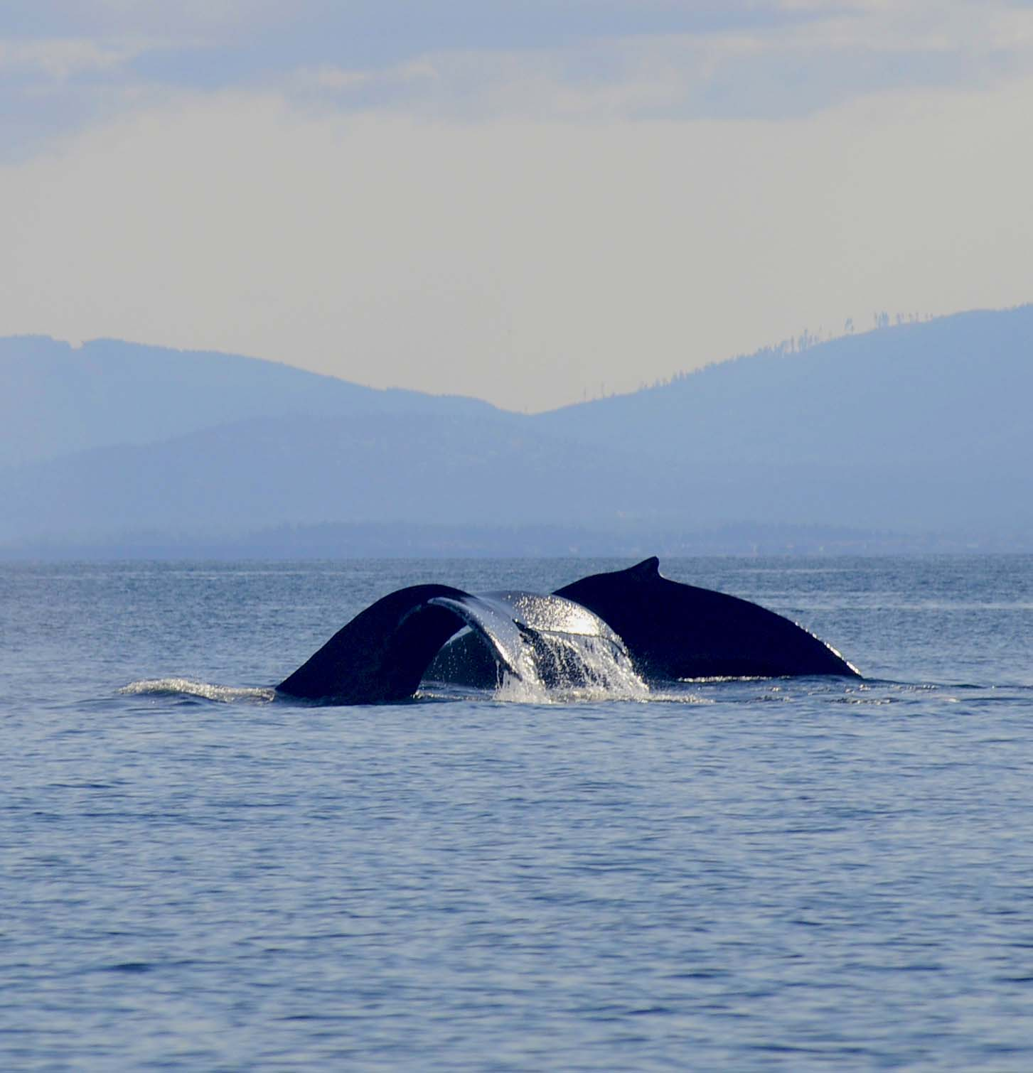 Whales of off Victoria