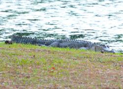 Aligator Hilton Head