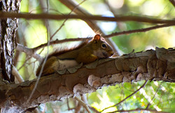 red squirrel in Muskoka