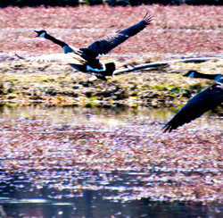 Canadian geese at Cranberry Marsh