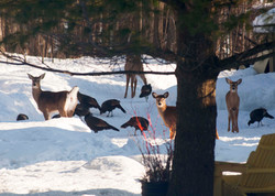 Wild deer and turkeys