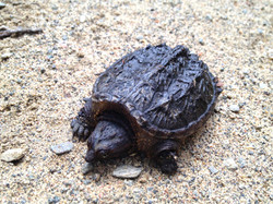 baby turtle on bike track Gravenhurs
