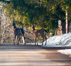 Windermere deer Canada