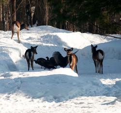 wild turkeys and deer in snow