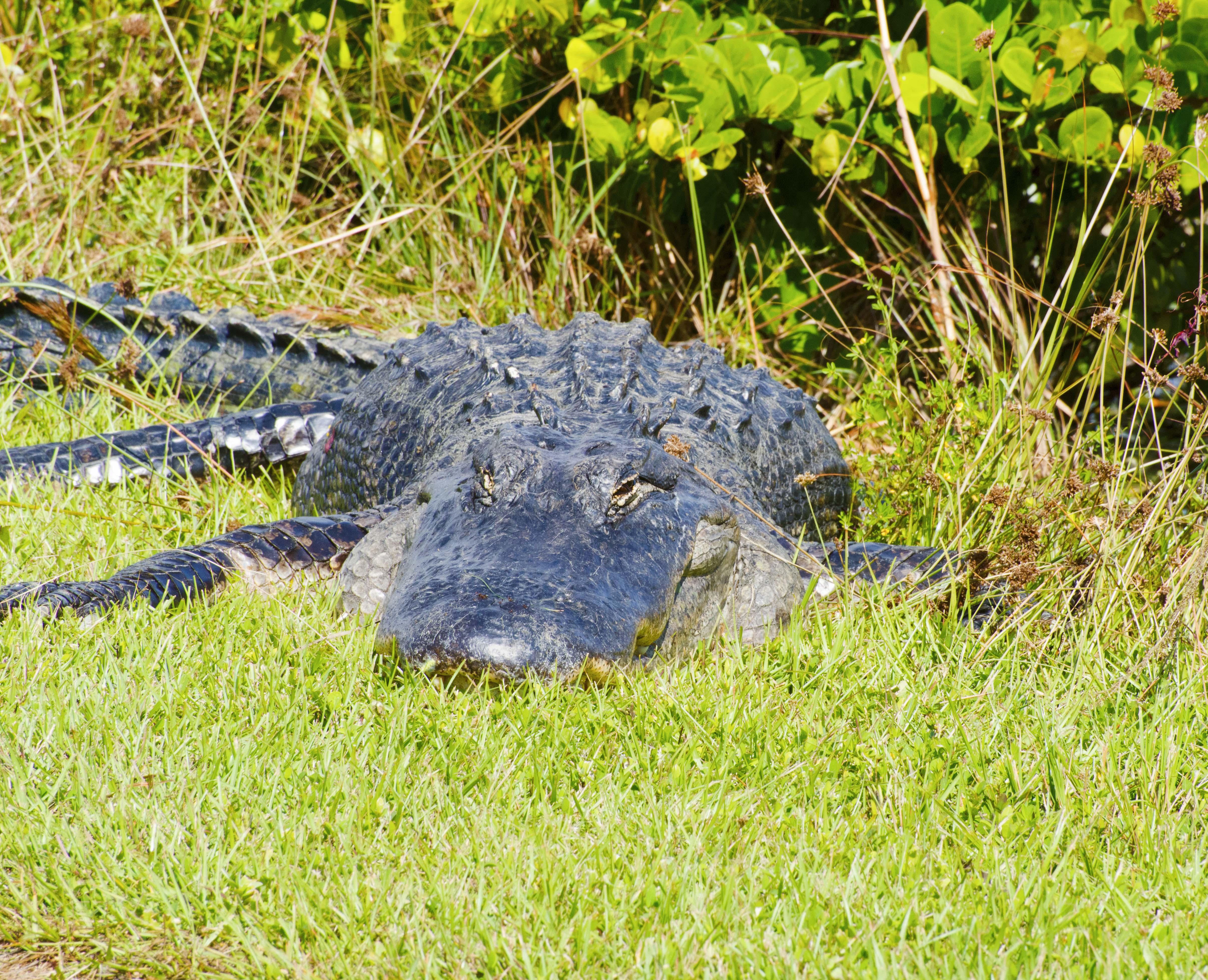 Aligator in the everglades