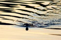 beaver at sunset