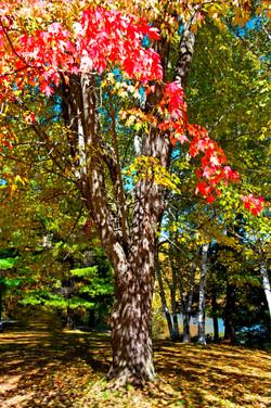 fall tree Ontario