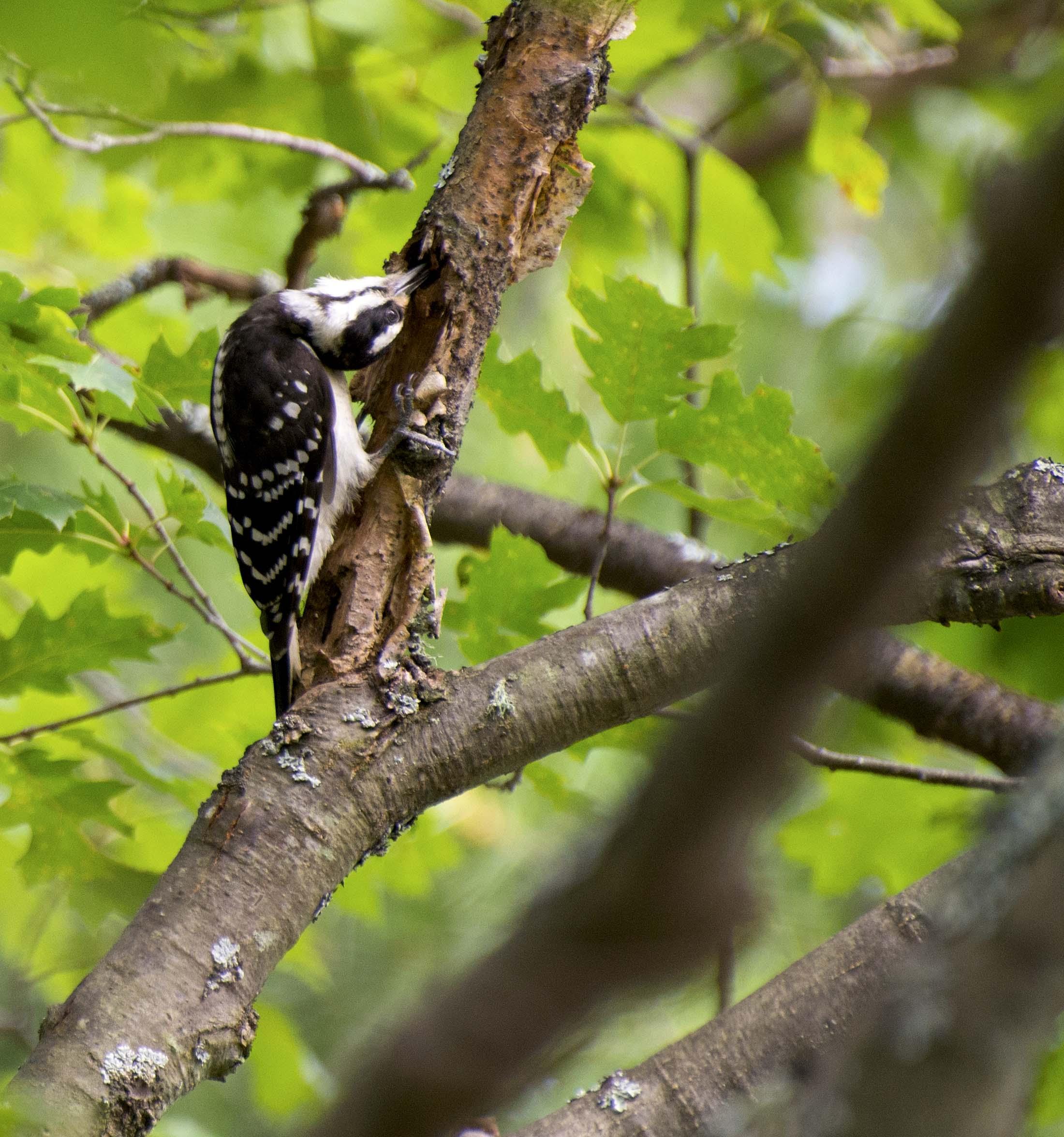 Woodpecker muskoka
