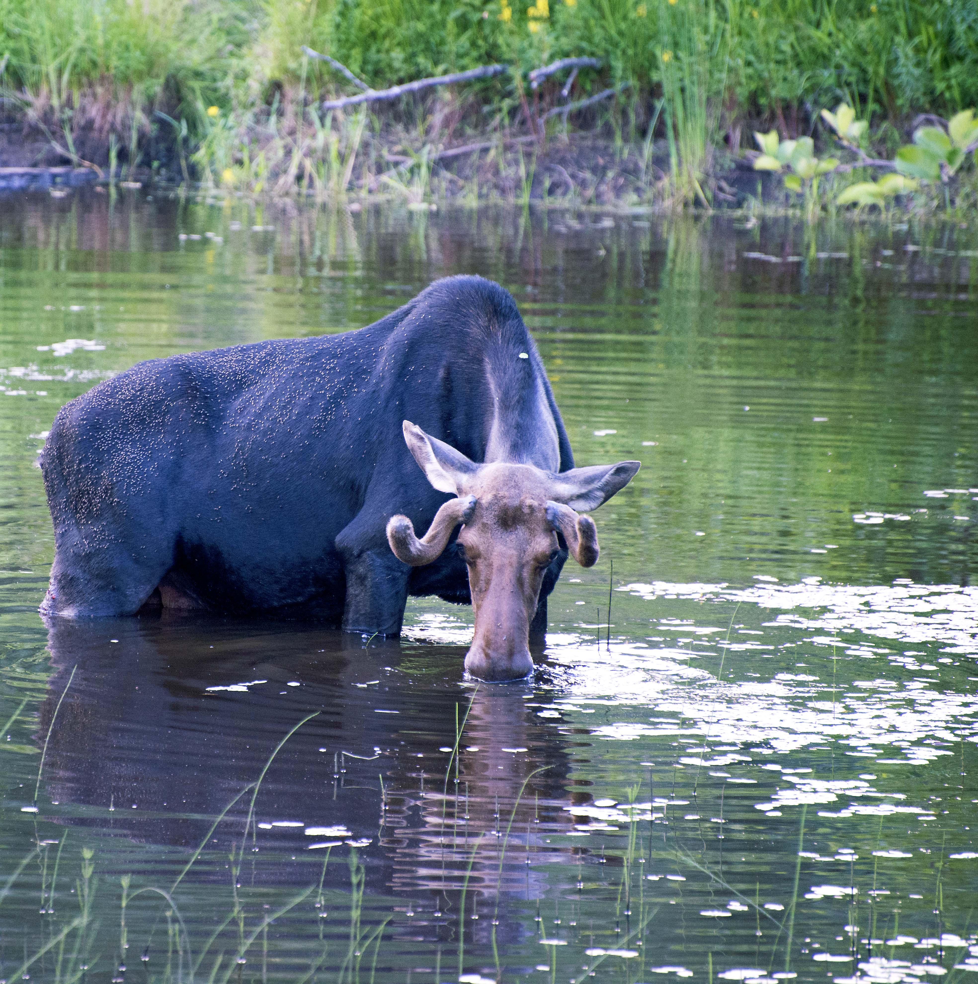 Moose drinking Ontario