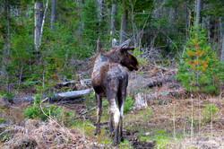 Algonquin Park moose patchy