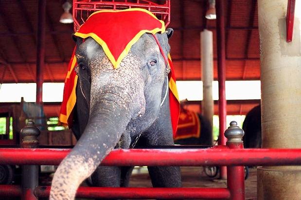 beautiful-big-trained-elephant-circus-sh