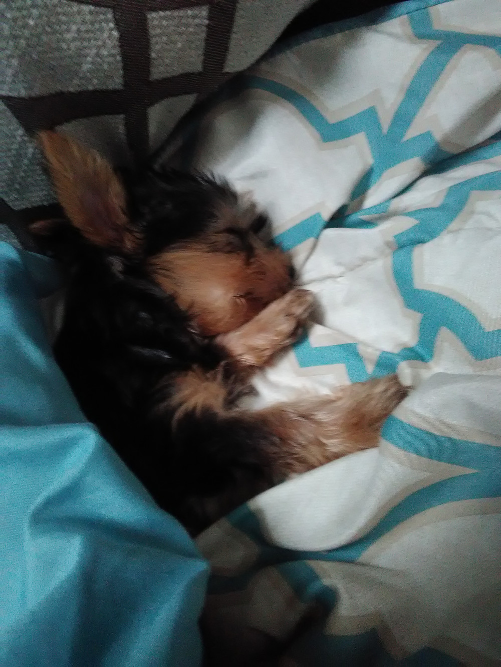 He is sleeping right now. He is a Yorkie by the way.
