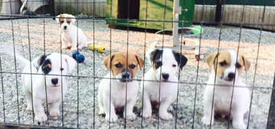 Jack russell puppy Leon d'oro kennell_ed