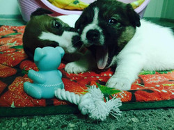 Happy e Hell Boy baby jack russell