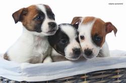 puppy jack russell leon d'oro b