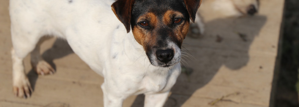 Gaia - Jack Russell Leon d'oro