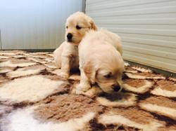 Puppy golden 219281