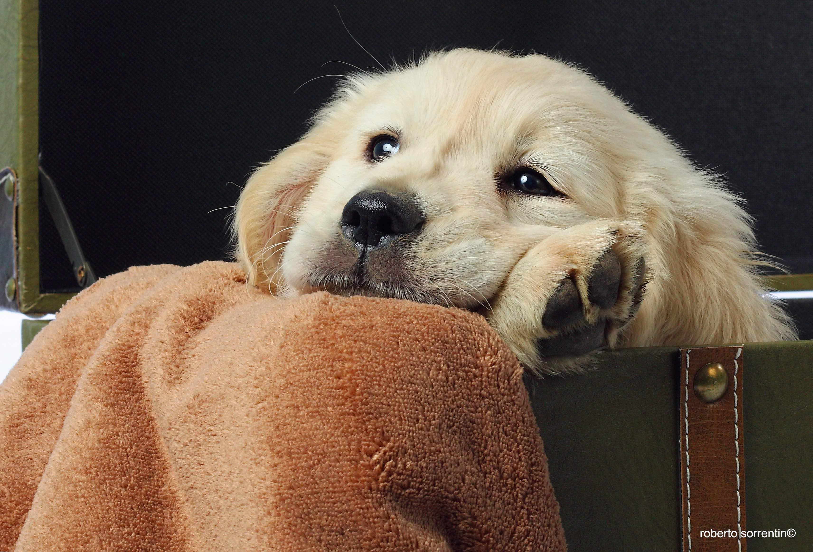 Golden puppy Greta photo book copia
