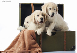 Golden puppy photo book