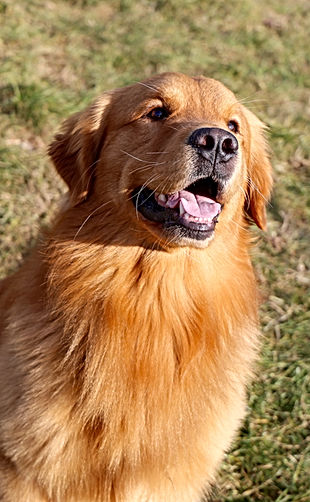 Wayne - Golden Retriever del Leon d'oro