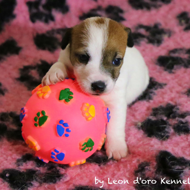 Jack Russell by Leon d'oro Kennel
