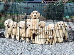 puppy golden Leon d'oro 7363