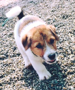 Hell boy Jack Russell Terrier