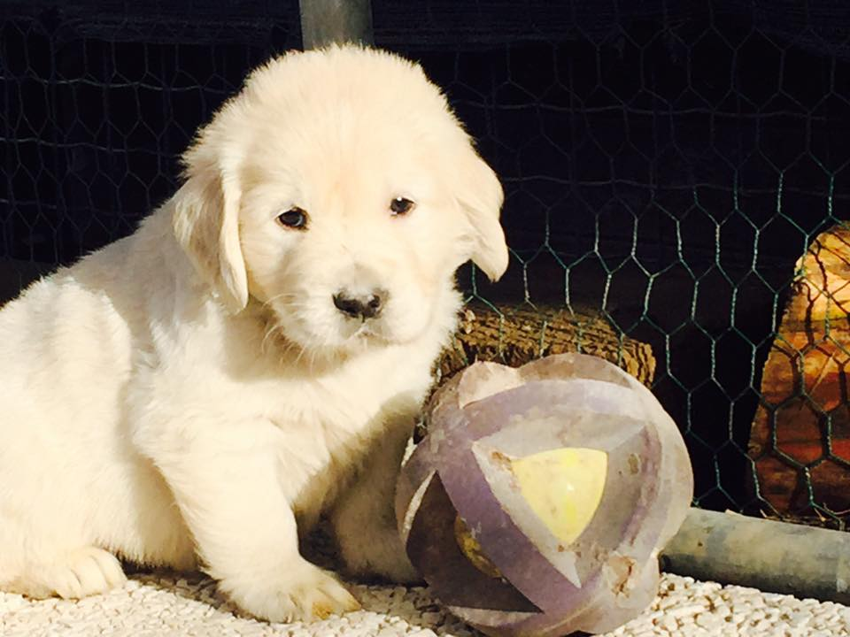 Leon d'oro golden retriever puppy 329