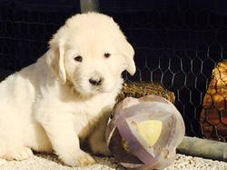 Leon d'oro golden retriever puppy 329