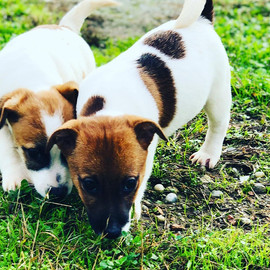 Jack Russell Leon d'oro