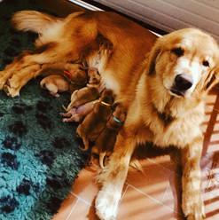 Britney e Wayne puppies - Allevamento del Leon d'oro