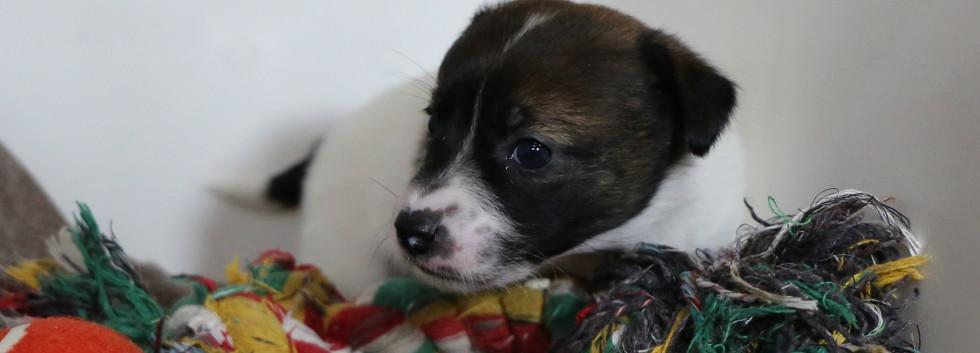 Cucciolo Jack Russell