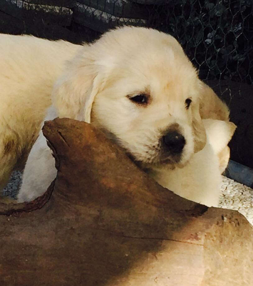 Cuccioli Golden Retriever Leon d'oro