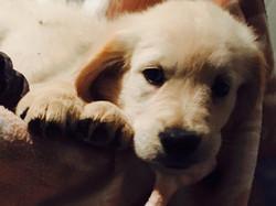 puppy golden retriever m1