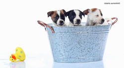 jack russell puppy photo book