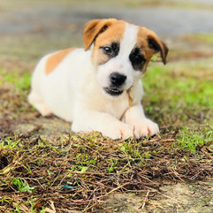 Maschietto Jack Russell Terrier