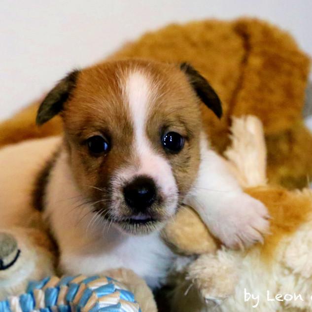 Cuccioli Jack Russell Terrier